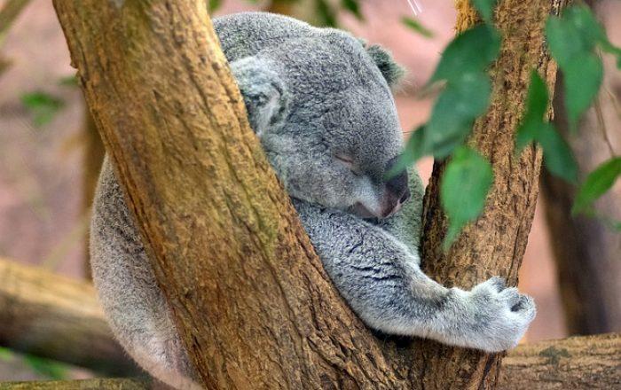 Visit-Victoria_Koala