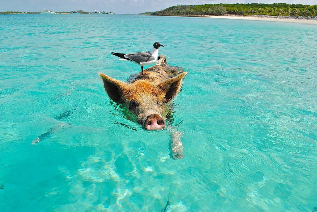 bahamas schweine meer