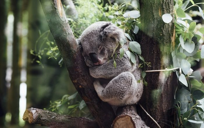 Visit-Victoria_Koala1