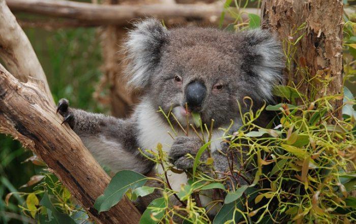 Visit-Victoria_Koala3